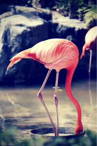 Flamingo With Head in Sand