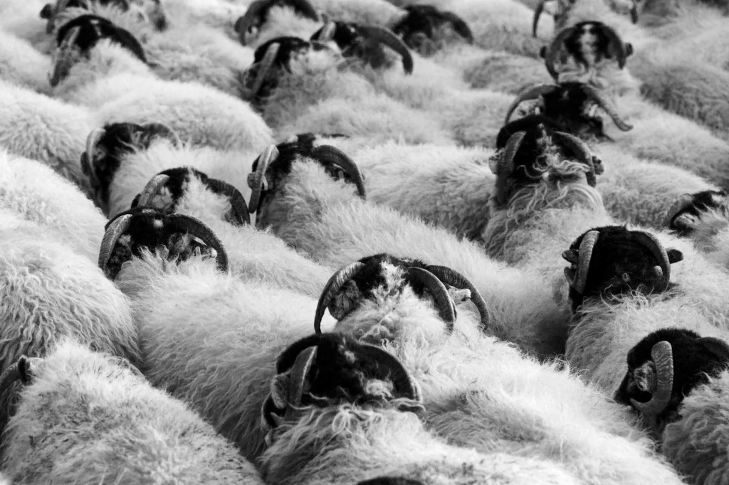 Sheep - Not Standing Out From the Crowd