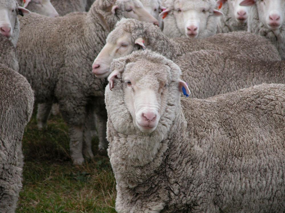 White Gum Wool sheep